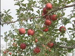りんご画像.jpg